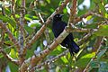 Greater Antillean Grackle (Quiscalus niger) (8592688100).jpg
