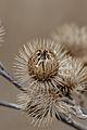 Greater Burdock (Arctium lappa) - Guelph, Ontario 02.jpg