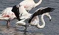 Greater Flamingo, Phoenicopterus roseus at Marievale Nature Reserve, Gauteng, South Africa (21470925375).jpg
