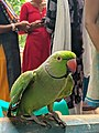 Green Parrot lovely.jpg