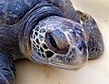 Green sea turtles are listed as threatened along California's coast (30608718471).jpg