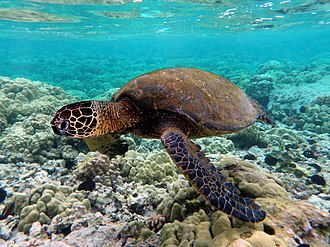 Green sea turtle - A green sea turtle swimming above a Hawaiian coral reef
