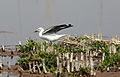 Grey-headed Gull, Chroicocephalus cirrocephalus at Marievale Nature Reserve, Gauteng, South Africa (21053660155).jpg