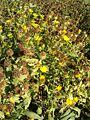 Grindelia camporum Grindelia robusta HabitusInflorescencesFruits BotGardBln0906a.JPG