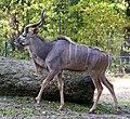 Großer Kudu Tragelaphus strepsiceros Tierpark Hellabrunn-9.jpg