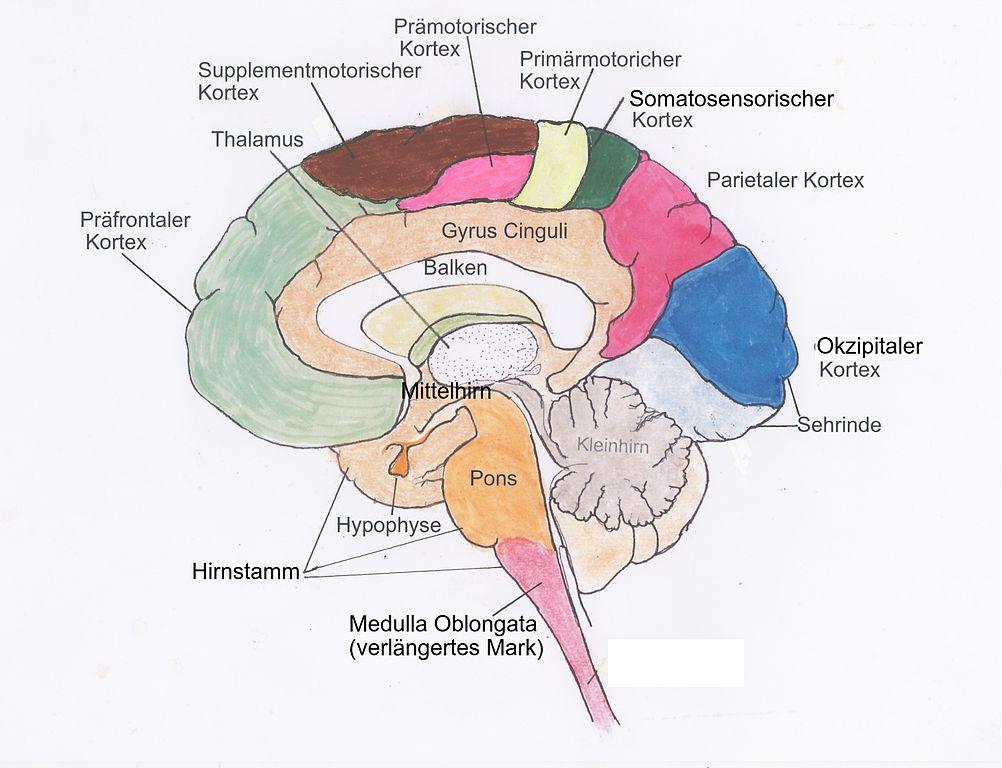 Atemberaubend Anatomie Des Gehirns Funktionen Galerie - Anatomie ...