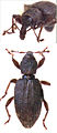 Gromilus insularis antipodarum.jpg