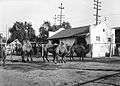 Group of camels at the Los Angeles Zoo, ca.1920 (CHS-9747).jpg
