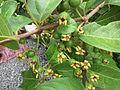 Guava - പേര, പേരയ്ക്ക 02.JPG