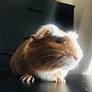 Guinea-Pig.png.jpg