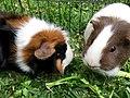 Guinea pigs eating grass.jpg