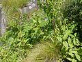 Gymnadenia orchidis (7815309192).jpg