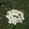 H20140522-2471—Viburnum ellipticum—RPBG (14279238984).jpg