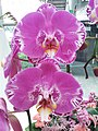 HK 中環 Central 國際金融中心商場 IFC Mall 紫色蝴蝶蘭花 purple butterfly orchid flowers January 2020 SSG 03.jpg