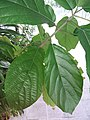 HK Mid-levels High Street clubhouse green leaves plant February 2019 SSG 88.jpg