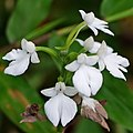 Habenaria plantaginea Lindl. (10081847295) - cropped.jpg