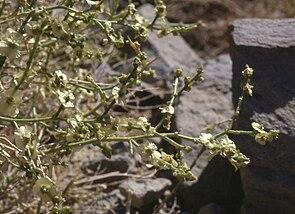Halothamnus subaphyllus subsp. charifii