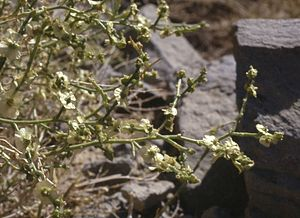 Salsoloideae - Halothamnus subaphyllus, in fruit