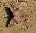 Hawkmoth. Sphingidae.Macroglossinae.see notes - Flickr - gailhampshire.jpg