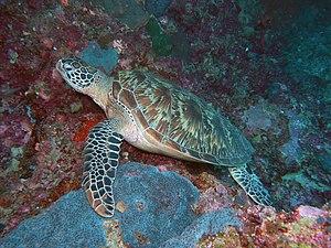Sipadan - Green Sea Turtle.