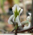 Haworthia glabrata 2.jpg