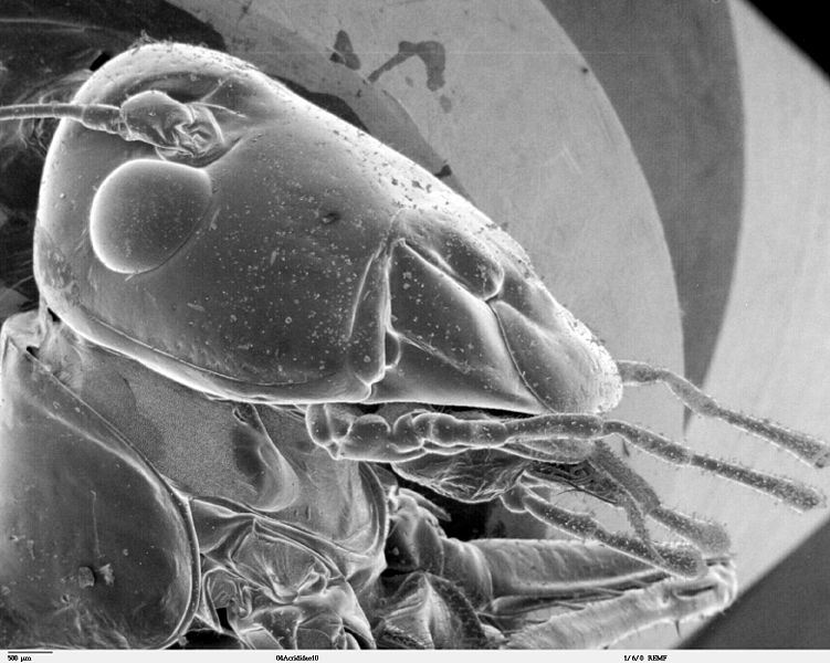 Plik:Head of Orthoptera SEM.jpg