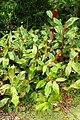 Hedychium greenii kz1.jpg
