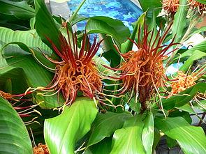 Blütenstände von Hedychium longicornutum