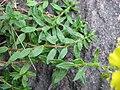 Helianthemum nummularium leaf (02).jpg