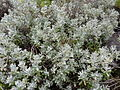 Helichrysum obconicum.jpg