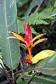 Heliconia psittacorum 16zz.jpg
