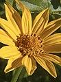 Heliopsis helianthoides 002.jpg