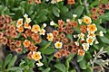 Heliotropium floridum Desierto Florido 2011 sector costero Huasco 01.jpg