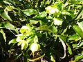 Helleborus lividus subsp. corsicus au Jardin des Plantes 03.JPG