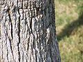 Hemidactylus turcicus (lizard).jpg