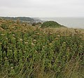 Hemp Agrimony on cliff top - geograph.org.uk - 1505509.jpg