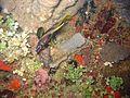 Heniochus monoceros 2006 Reef0526.jpg