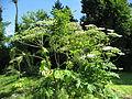 Heracleum mantegazzianum 05 by Line1.jpg