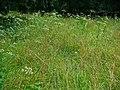 Heracleum sphondylium 001.JPG