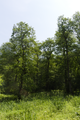Herbstein Lanzenhain Oberwald Wannersbruch NR 319289 W Alnus glutinosa.png