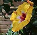 Hibiscus rosa-sinensis 'Jason' Flower.JPG