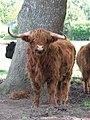 Highland Cattle - geograph.org.uk - 514346.jpg