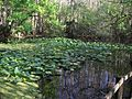 Highland Hammocks SP Swamp Trail swamp02.jpg