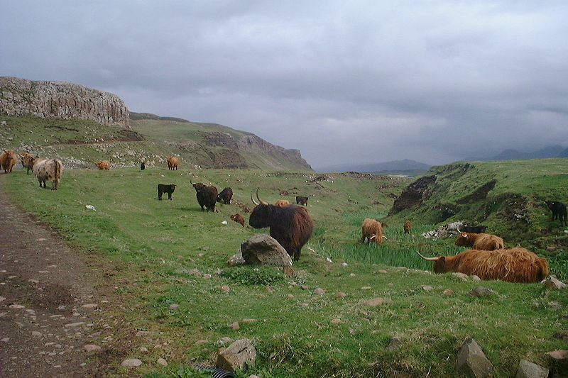 File:Highland cattle on Canna.jpg
