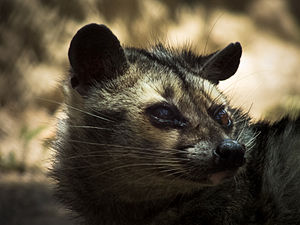 Asian palm civet - Close up of Asian palm civet
