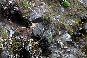 Himalayan goral - Standing at the vertical edge of a rock cliff at Pangolakha Wildlife Sanctuary, India.