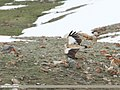 Himalayan Griffon (Gyps himalayensis) (49178474927).jpg
