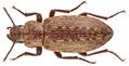 Himatismus villosus Haag-Rutenberg, 1870 (12117184356).png