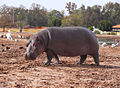 Hippo-Safari2011RG0065.jpg