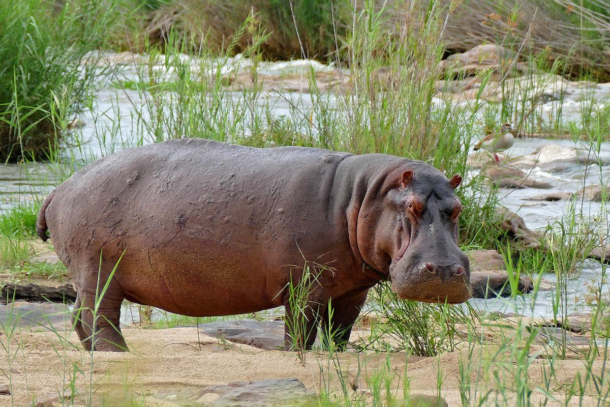 Hippo, Uganda